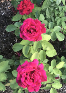 Loose Park Roses